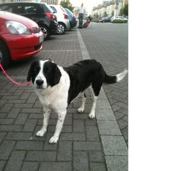 Found dog on 20 Jun 2013 in Blanchardstown. Black and white very friendly female collie found this eve in Waterville Blanchardstown. Was with another beige shepherd/collie x that i couldnt catch.