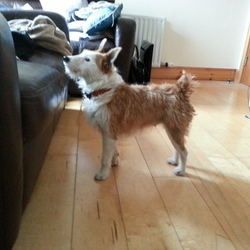 Found dog on 20 Jun 2013 in Cork City Centre. Terrier found near Cork City centre (on White Street), 6-7 years old, very distinctive markings on face. Has a collar but no name tag.