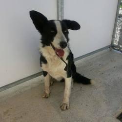 Found dog on 20 Jun 2014 in summerhill. Male Collie...Sammy ref 278 found in Summerhill Rd...approx. 2yrs...friendly, timid boy contact meath pound