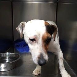 Found dog on 20 Jun 2016 in  Liffey valley carpark. found, now in the dublin dog pound..Urgent Found-this little lady in Liffey valley carpark last week. She is in Aston pound now so urgent that her owner is found, Very friendly, please share x pf. Courtenay.....Her 5 days pound time are up tomorrow I believe