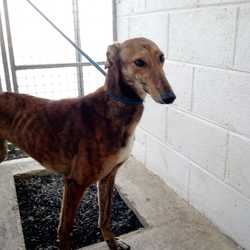 Found dog on 20 Mar 2018 in navan. found...Ref 72, Sally, female Greyhound found in navan and now in Meath pound, call 0870973911