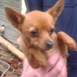 Found dog on 20 Nov 2014 in pamnerstown. found pom, now in dublin dog pound.. Date Found: Wednesday, November 19, 2014 Location Found: Palmerston Village , Palmerston