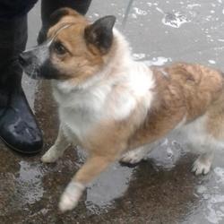 Found dog on 20 Oct 2014 in clondalkin. found, now in dublin dog pound.. Date Found: Friday, October 17, 2014 Location Found: Oak Est , Clondalkin