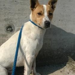 Found dog on 20 Sep 2016 in Navan Road Trim. found...Jrt...found on Navan Road Trim.ref.353..contact Meath pound on 087 0676766..