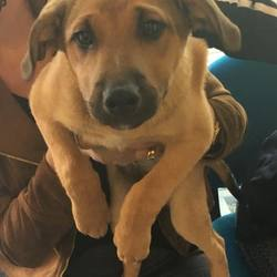 Found dog on 20 Sep 2016 in skerries. found, contact dogs trust..Male pup found in skerries . Please contact 01 8791834 if you lost this dog.