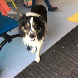 Found dog on 20 Sep 2016 in swords area. found, contact dogs trust..Male Collie found in swords area. No chip, please call 018791834 if you know his family.