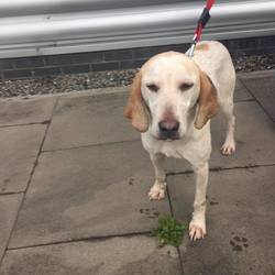 Found dog on 20 Sep 2016 in Tyrellstown. found, contact dogs trust..Female Foxhound cross found in Tyrellstown. Please call 01 8791834 if you have any information about her.