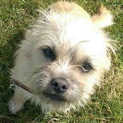 Found dog on 21 Apr 2016 in  Boyne View Navan. found.....1yr old Border Terrier x...ref. 180...Found Boyne View Navan...wearing a collar but not microchipped...contact Meath pound on 087 0676766...thanks.