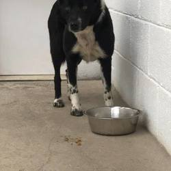 Found dog on 21 Apr 2017 in Primatestown Ashbourne. found, 3yr old Collie x found in Primatestown Ashbourne...poor dog is very scared...ref 138....please contact Meath pound on 087 0676766..thanks,