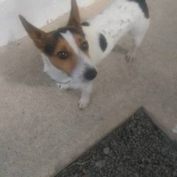 Found dog on 21 Aug 2015 in Dunshaughlin.. RTA...found 2yr old Male Jrt....was knocked down and brought to Dunshaughlin Vets.now in the pound..ref 368...contact Meath Pound on 087 0676766...thanks