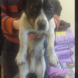 Found dog on 21 Dec 2015 in dublin_pound..../. found, now in the dublin dog pound..Ashton Dog Pound