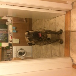 Reunited dog 21 Dec 2017 in Finglas, Dublin 11. Approx 4 years old bull mastiff. Has microchip but not registered. Lovely temperament. Found wandering in a Finglas agrea.