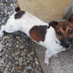 Found dog on 21 Feb 2013 in cashel. jack russell found in cashel on 21/02/2013