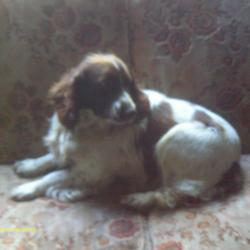 Found dog on 21 Jan 2012 in Kildangan, Co. Kildare. Springer Spaniel found in our back garden in Ashgrove, Kildangan this morning. I knocked around on some doors but couldn't find anyone in the area that even knows of one.