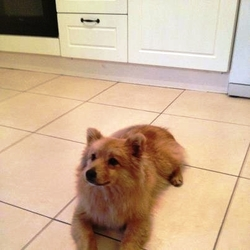 Found dog on 21 Jul 2012 in tipperary. FOUND dog in cappawhite area sun 22th july lovely temperament male not neutered approx 1 year old, maybe pom mix ginger & white in colour