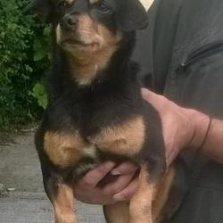 Found dog on 21 Jul 2016 in Crooksling , Brittas. found, now in the dublin dog pound.. Date Found: Wednesday, July 20, 2016 Location Found: Crooksling , Brittas