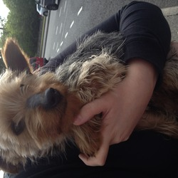 Found dog on 21 May 2013 in Dublin 9. Small male terrier wearing blue material collar found today approx 4.30pm around Santry area (Swiss cottage pub) if anyone knows of any1 missing a dog with this description pls contact me, the dog is in safe hands..