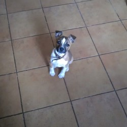 Found dog on 21 May 2014 in drogheda. found dog,21/5/14 in beechwood drive,termonabbey,drogheda  0879657675