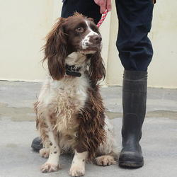 Found dog on 21 May 2015 in dublin area. found springer , now in the dublin dog pound