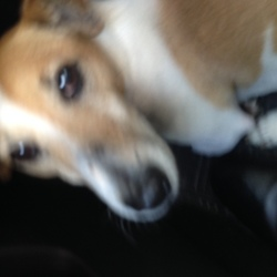 Found dog on 18 May 2017 in Ballyfermot Chapelizod Palmerstown . Found by Animal Rescuer - Jack Russell Terrer Male Tan and white. Defenitly deliberately abandoned Ballyfermot but posting in case recognised Remember Telephone Numbers on collars get instant calls  to you! bernardevans1@gmail.com to email me
