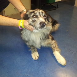 Found dog on 21 Nov 2014 in Firhouse Dublin. Merle collie gray/black/white male found oldbawn area in firhouse