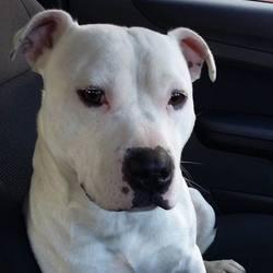 Found dog on 21 Nov 2015 in dublin.. found One year old Staffie found in dcu , now in the dublin dog pound..dogs aid..