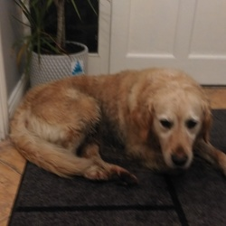 Reunited dog 21 Nov 2017 in Sallins, Co Kildare. Owner has been found
