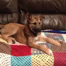 Found dog on 21 Oct 2014 in Dunshaughlin ,Meath. Lovely dog mostly tan, black around neck, small bit of white on chest, German Sheppard, terrier or lurcher ? cross. approx. 4/5 months old. He is really friendly and very warm, make a good family pet, loves attention. Would like to keep him but I already have 3 dogs. Needs a good home if owner does not contact me. Interested call Liam 0868364543