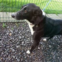 Found dog on 21 Oct 2014 in smithstown. found...approx. 2yrs....ref 454...found in Smithstown between Kimoon & Duleek....wearing a distinctive collar & tag but no phone number....contact Meath pound...