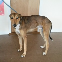 Found dog on 22 Apr 2014 in Wicklow. Greyhound X found in Bray, Wicklow. Contact Wicklow Dog Pound for information on 040444873. 