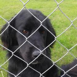 Found dog on 22 Aug 2014 in Ferrybank Waterford. Young male black dog found near Ferrybank, Waterford. Maybe a setter/spaniel cross.
