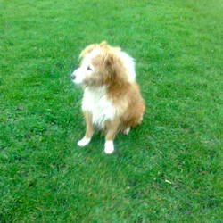 Found dog on 22 Jan 2012 in Marino. Tan and white, long haired dog. Found in Marino. Phn 0872223471