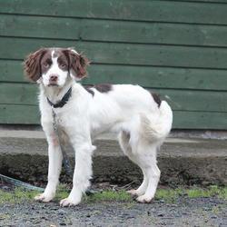 Found dog on 22 Jan 2015 in dublin.. found springer, now in the dublin dog pound..