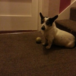 Found dog on 22 Jan 2015 in Dublin 10 . Male jack Russell found in ballyfermot Dublin 10 this morning. Not neutered. Will be checked for chip tomorrow
