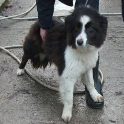 Found dog on 22 Jan 2015 in ratchoole. found collie, now in the dublin dog pound... Date Found: Wednesday, January 21, 2015 Location Found: Badgerhill , Rathcoole