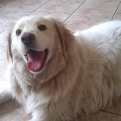 Found dog on 22 Jul 2012 in navan. Retriever found Navan Shopping centre 22/07/2012 Collected by Dog Warden @12:00 26/07/2012