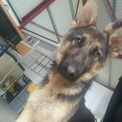 Found dog on 22 Jul 2016 in Balivor. found....10mt old GSD...found in Balivor...contact Meath pound on 087 0676766...thanks