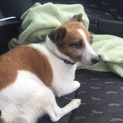 Found dog on 22 Jul 2016 in Caragh road roundabout. UPDATE ...R.I.P .....Found- older female jack Russell found in middle of Caragh road roundabout Wednesday morning 8/8.30am. Well looked after . Very very scared and nervous. Someone must be missing her. Seems like a elderly persons dog as not walked a lot and chubby ;) ,please share x pf..S.McCabe ....proof of ownership required