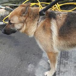 Found dog on 22 Mar 2017 in N,1 , Lucan. found, now in the dublin dog pound... Date Found:
