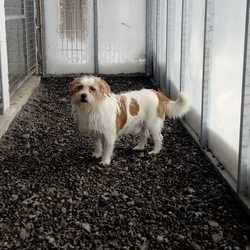 Reunited dog 22 Mar 2018 in Kilbride. updated reunited....found...This little chap was picked up in Kilbride and is now in the pound, contact 0870973911 with information