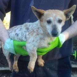 Found dog on 22 Mar 2018 in  Rossfield. found, now in the dublin dog pound..Ashton strays picked up on 21/03