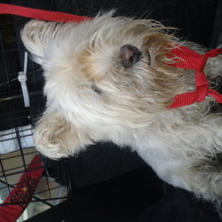 Found dog on 22 Nov 2013 in Stamullen. Female Westie found Stamullen, Meath. 22 November 2013.