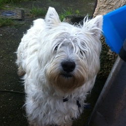 Found dog on 22 Nov 2014 in N11 Cabinteely . White West Highland Terrier  found on N11 near Cabinteely  Please contact Linda 0863989532 or Pauline 0872143745