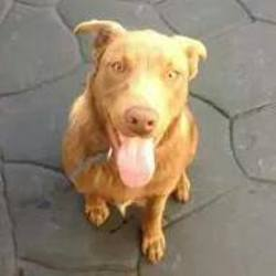 Found dog on 22 Oct 2014 in coolock. found in Coolock a couple of weeks ago, He is a lab x. He is a young, gorgeous boy.in Dogs' Aid.