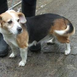 Found dog on 22 Oct 2015 in St Coumbas Road , Walkinstown. found, now in the dublin dog pound.. Date Found: