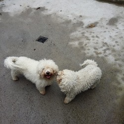 Found dog on 22 Sep 2017 in clonsilla. found..These two bichons were found this morning on the Clonsilla Road. Neither are wearing collars, both are microchipped but don't seem to be registered. Please contact our Hillcrest clinic on 01-8213189 if you have any information on these dogs