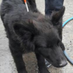 Found dog on 22 Sep 2017 in Peamount Road... Newcastle. found, now in the dublin dog pound... Date Found: