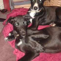 Found dog on 23 Aug 2014 in Wicklow. Two black lurcher (I think) puppies. Very young and well behaved, found on the Annamoe to ashford road co wicklow.