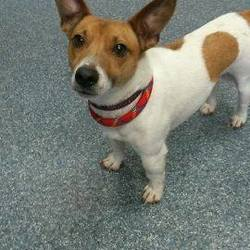 Found dog on 23 Dec 2014 in dunboyne. found jrt now in the meath pound...2yr old Jrt...ref 587 found in Dunboyne Castle...contact Meath pound...