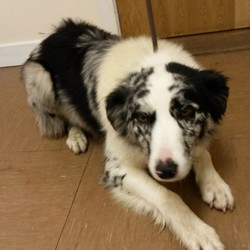 Found dog on 23 Dec 2014 in Wicklow. Collie found in Dunlavin, Co Wicklow. Contact Wicklow Dog Pound for information on 040444873.